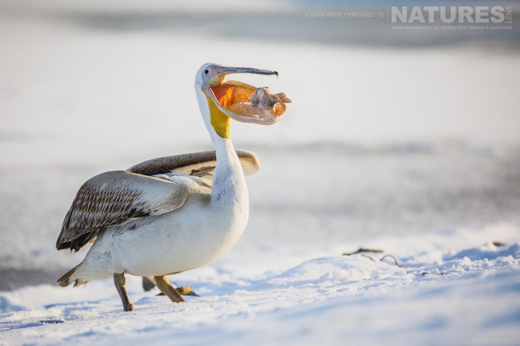 One of the Pelicans catches a fish photographed on the NaturesLens Dalmatian Pelicans Photography Holiday