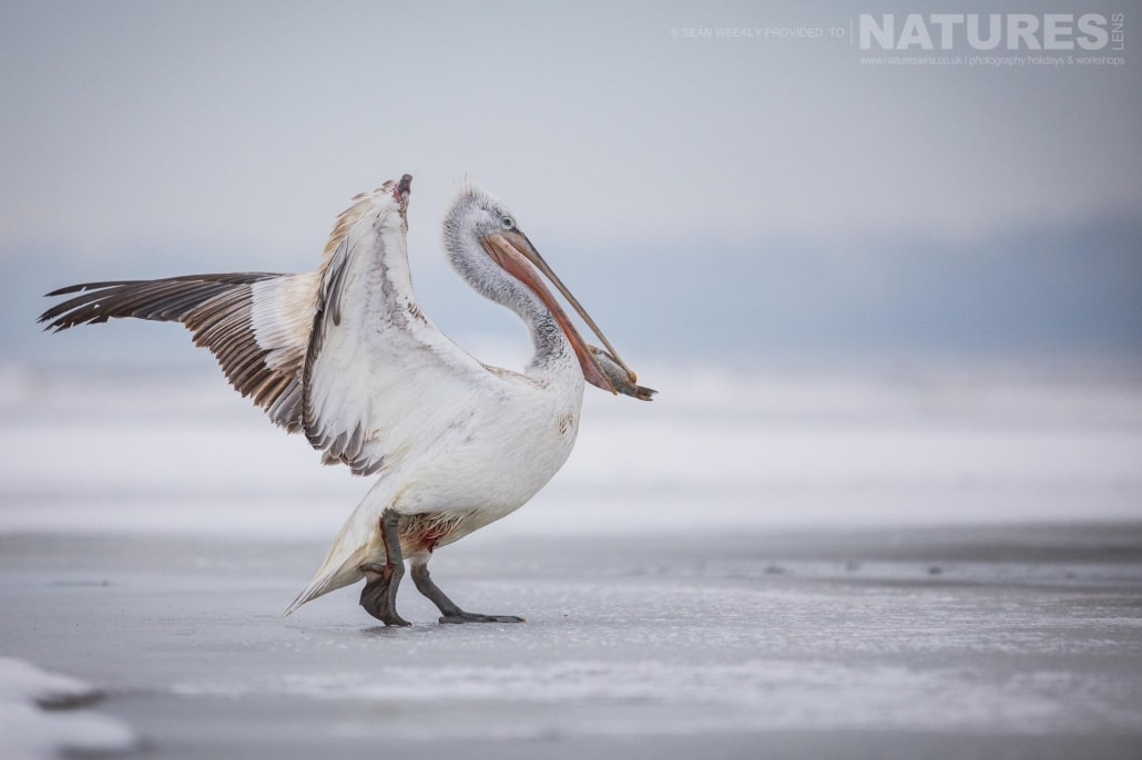 One of the Pelicans lands on the ice of a frozen Lake Kerkini photographed on the NaturesLens Dalmatian Pelicans Photography Holiday