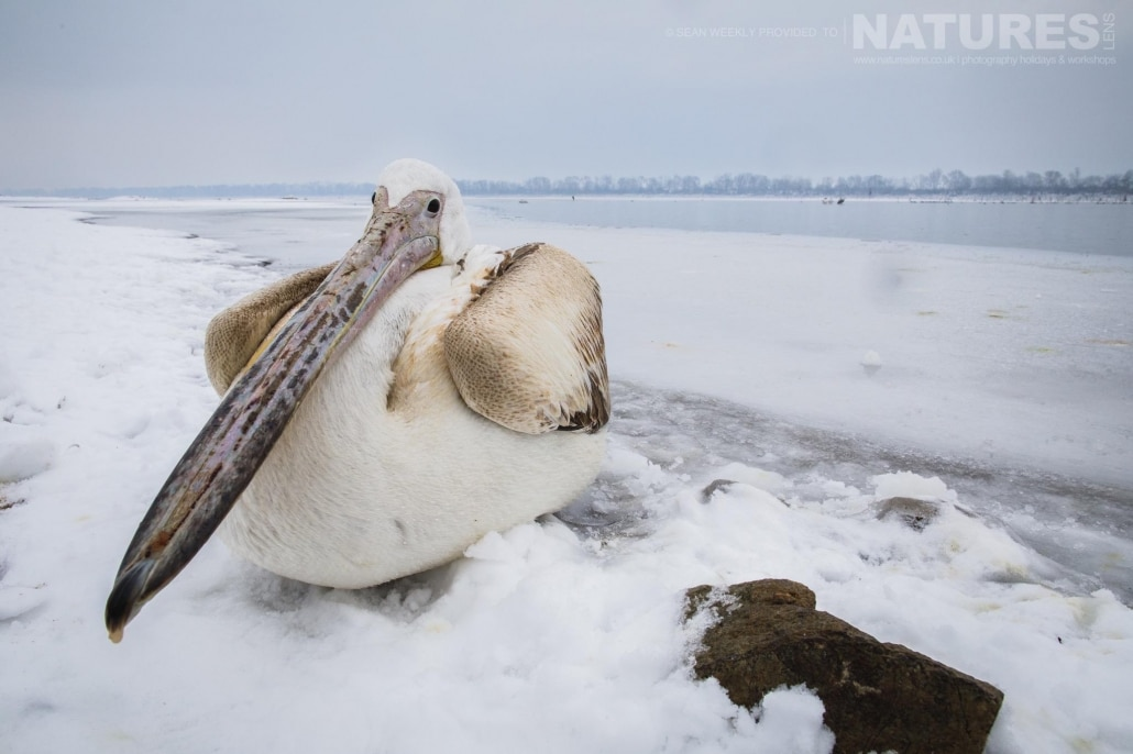 One of the White Pelicans sits on the snow covered shore line of Lake Kerkini photographed on the NaturesLens Dalmatian Pelicans Photography Holiday