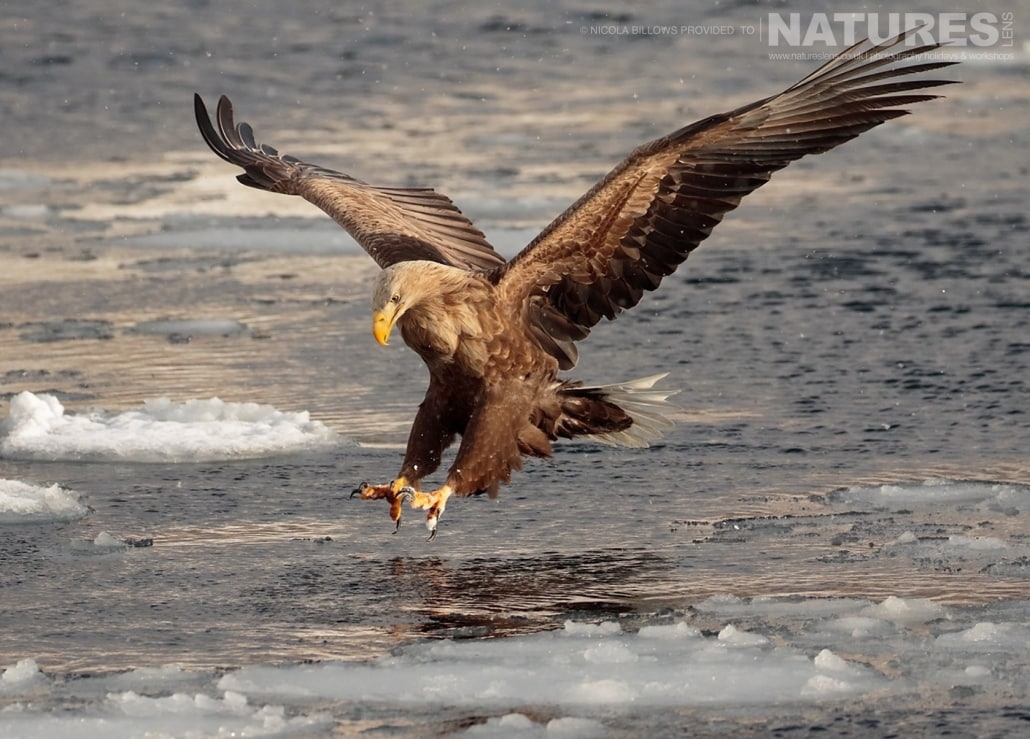 One of the White Tailed Sea Eagles swoops for a fish photographed by Nicola Billows during the NaturesLens Japanese Winter Wildlife Photography Holiday