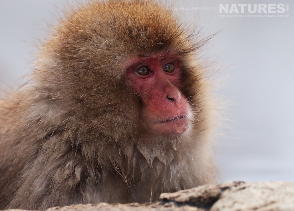 One of the adult snow monkeys bathing in the thermal spas photographed by Nicola Billows during the NaturesLens Japanese Winter Wildlife Photography Holiday