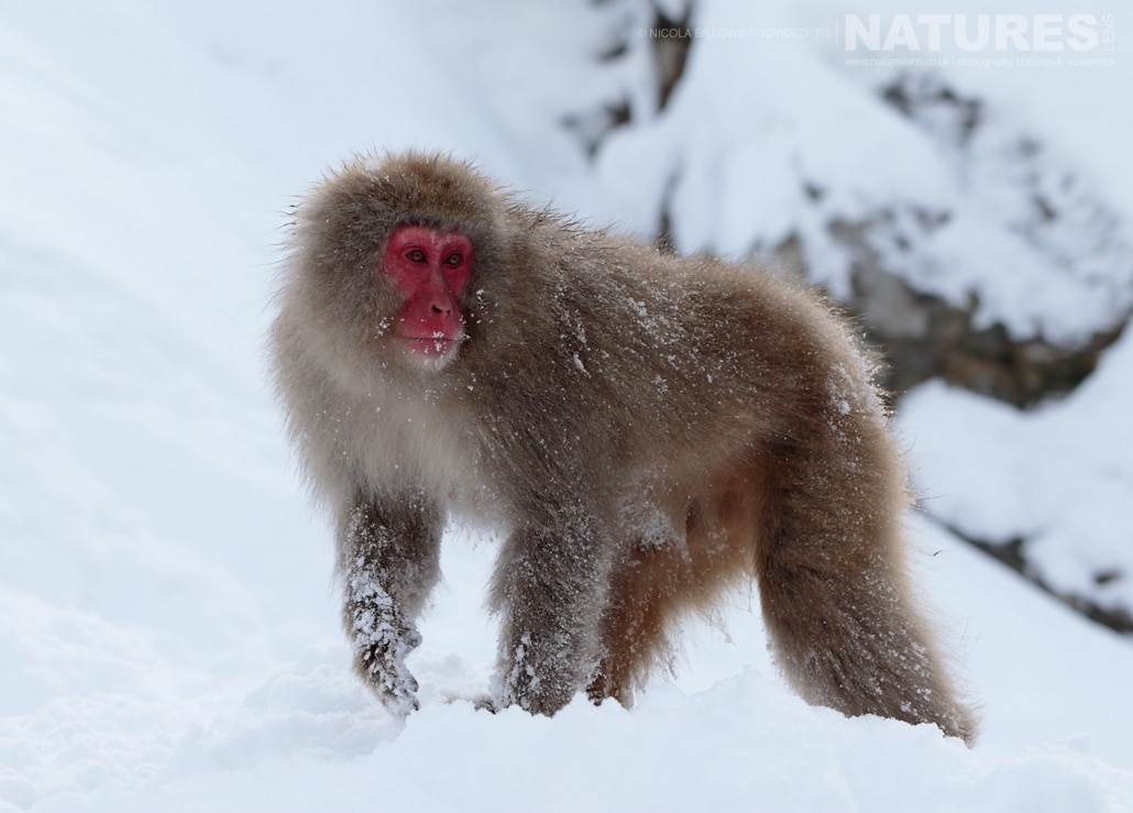 One of the adult snow monkeys of Hells Valley on the main island of Japan photographed by Nicola Billows during the NaturesLens Japanese Winter Wildlife Photography Holiday