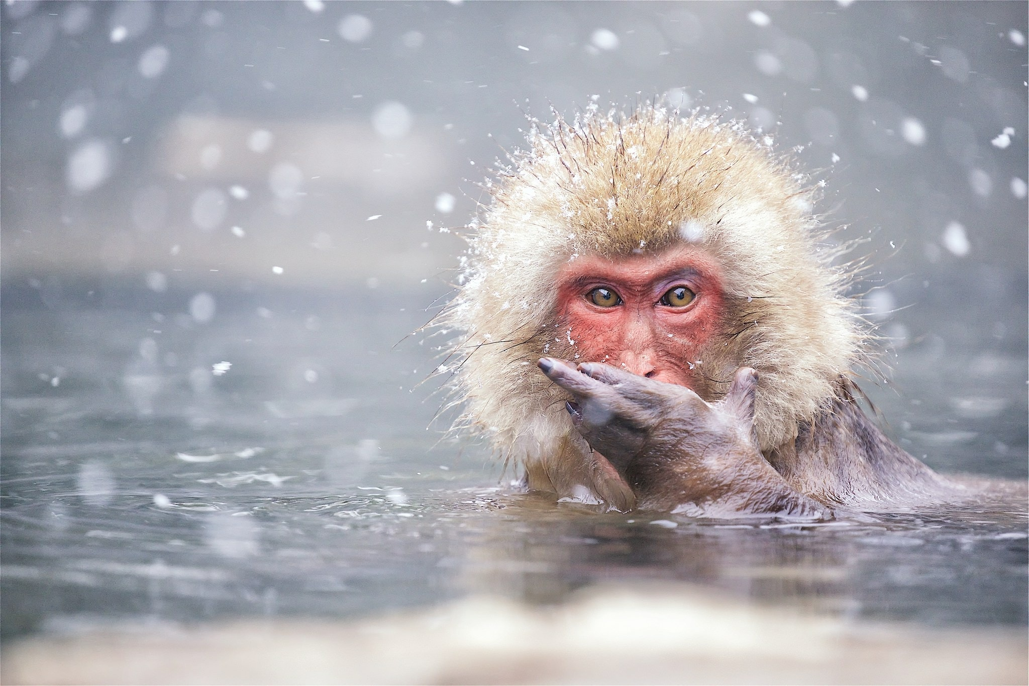 One Of The Bathing Snow Monkeys Of Jigokudani Yaen Koen Photographed During The NaturesLens Winter Wildlife Of Japan Photography Holiday