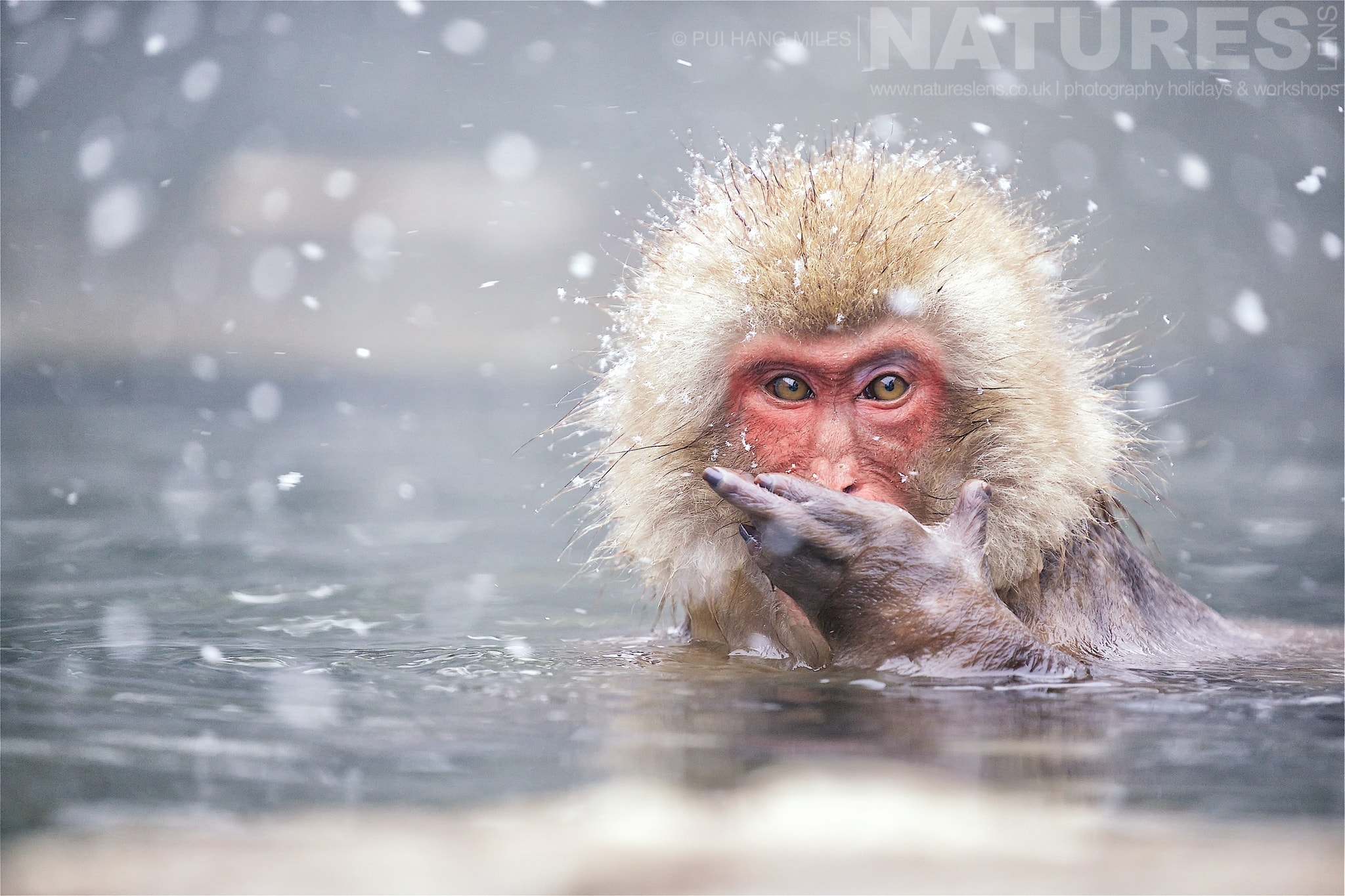 One Of The Bathing Snow Monkeys Of Jigokudani Yaen Koen  Photographed During The Winter Wildlife Of Japan Photography Holiday