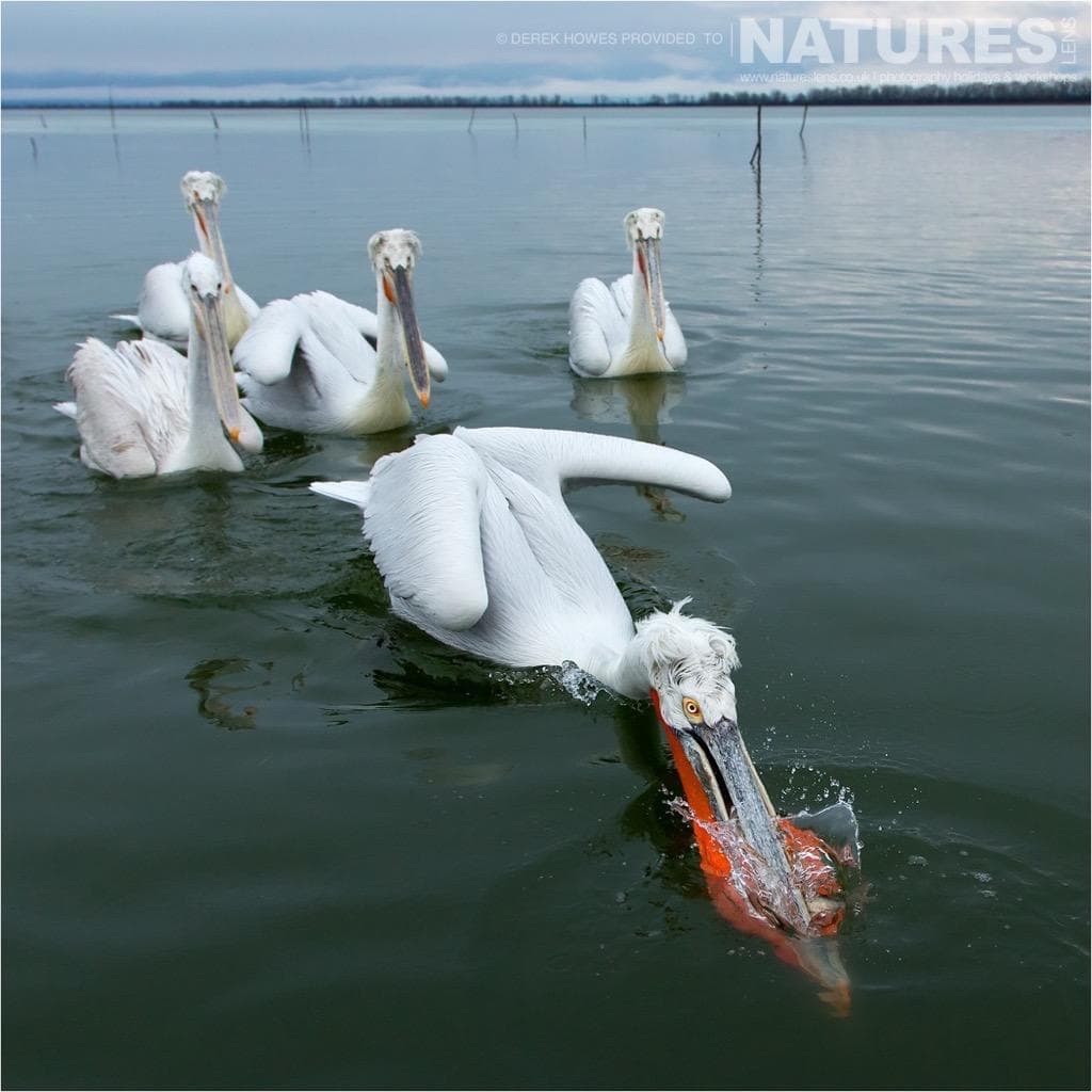 One of the dalmatian pelicans shows the others how to grab the fish photographed during the NaturesLens Dalmatian Pelican Photography Holiday