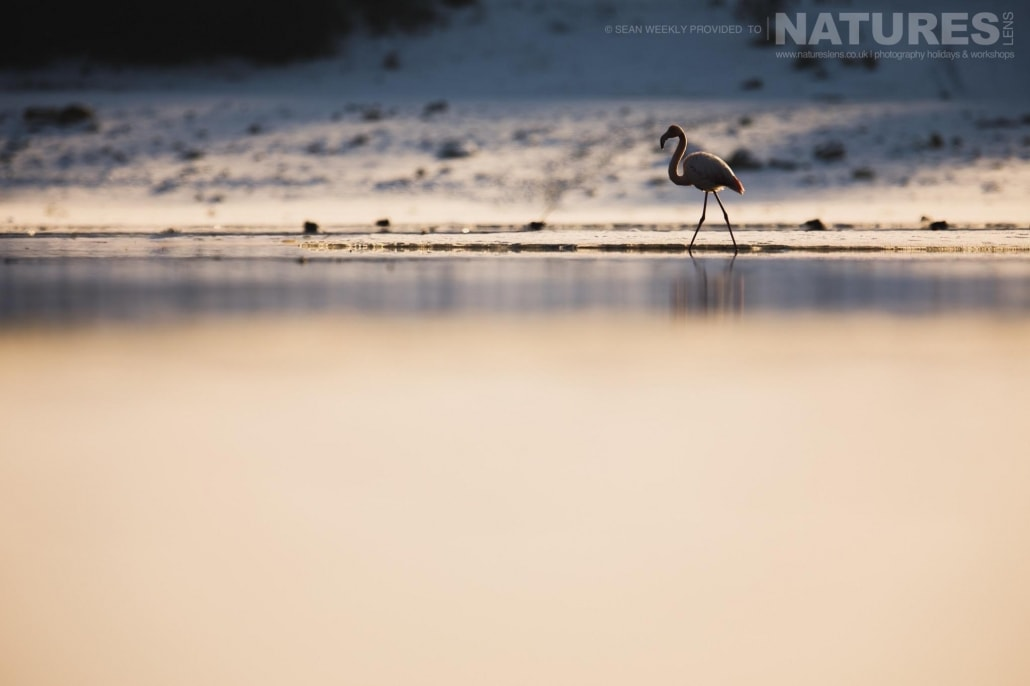 One of the flamingos of the area walks through the waters of a wintery Lake Kerkini photographed on the NaturesLens Dalmatian Pelicans Photography Holiday