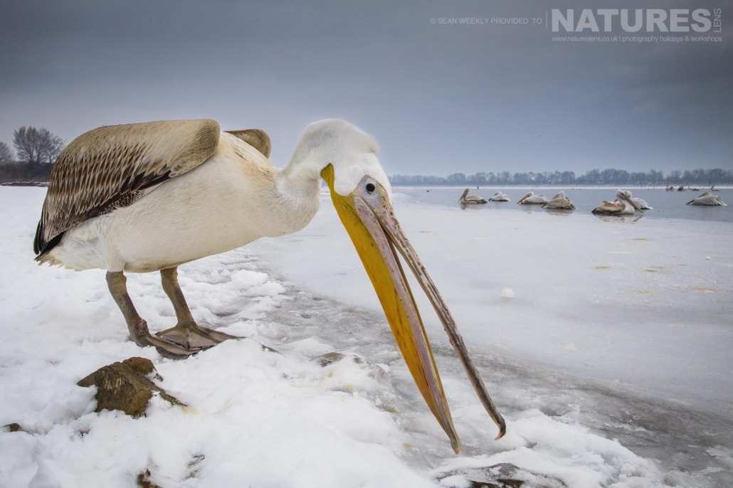 One of the pelicans scavenges for fish on the snow covered lake shore line photographed on the NaturesLens Dalmatian Pelicans Photography Holiday