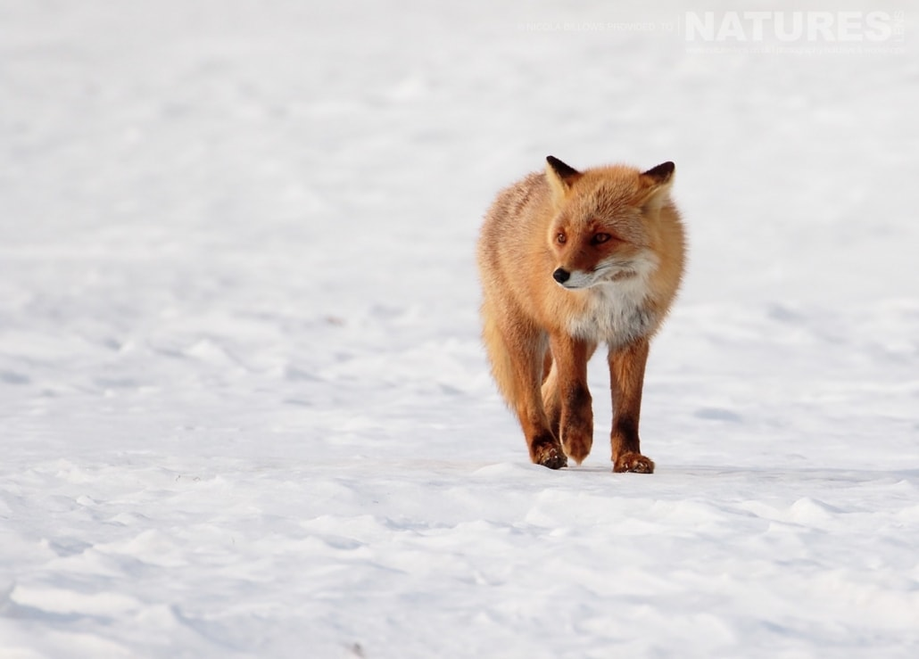 One of the red foxes of Hokkaido photographed by Nicola Billows during the NaturesLens Japanese Winter Wildlife Photography Holiday