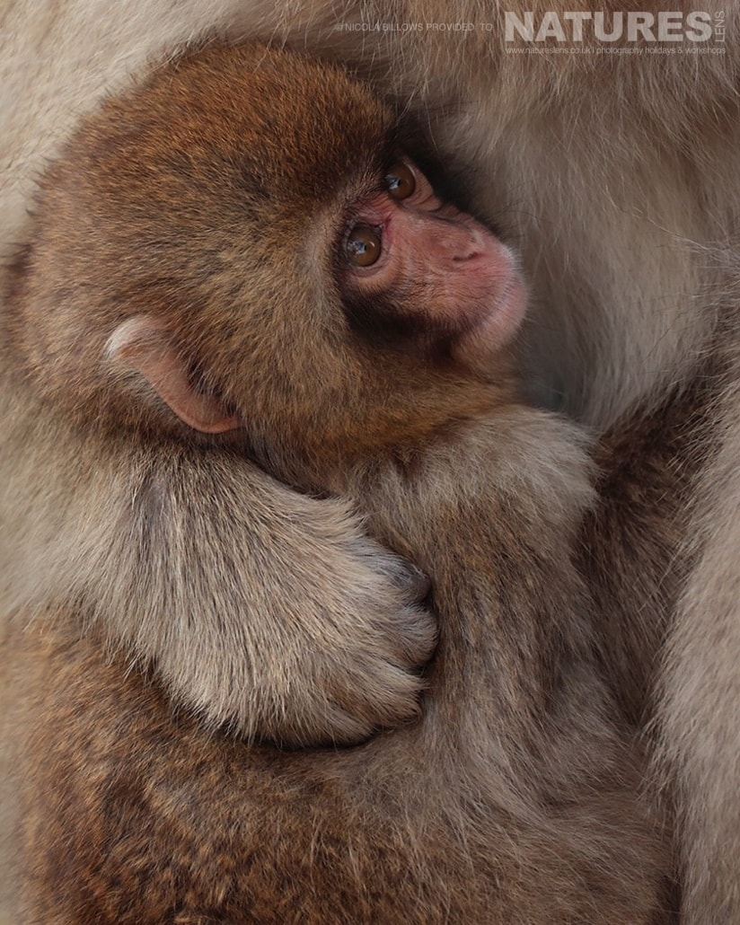 One of the very young snow monkeys cuddled into it's mother photographed by Nicola Billows during the NaturesLens Japanese Winter Wildlife Photography Holiday