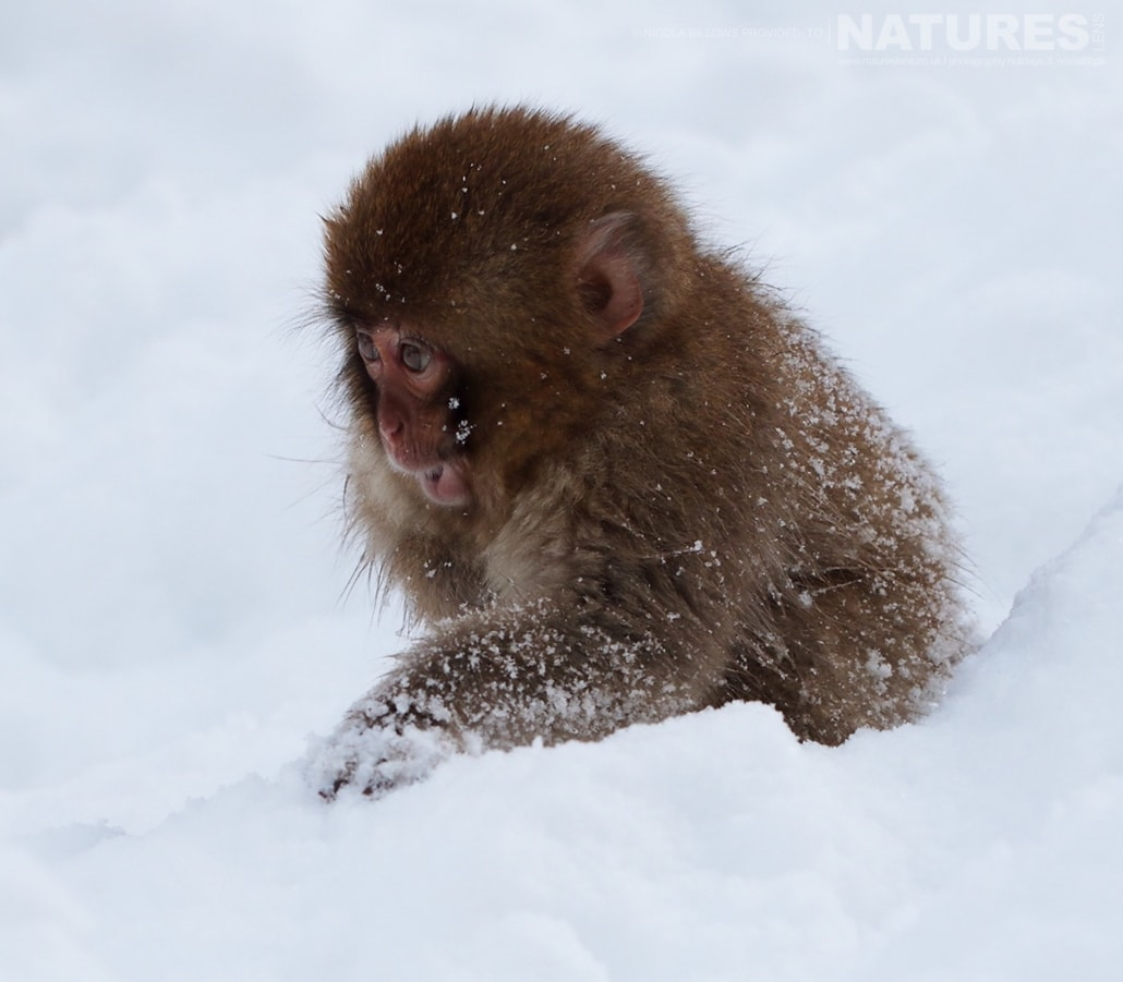 One of the very young snow monkeys of Hells Valley on the main island of Japan photographed by Nicola Billows during the NaturesLens Japanese Winter Wildlife Photography Holiday