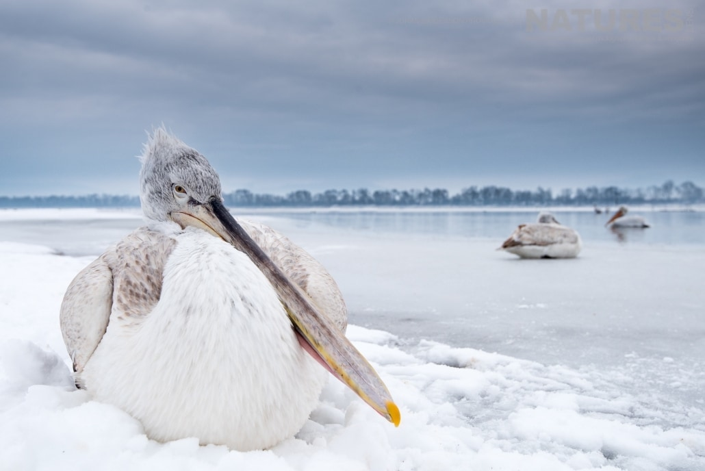 One of the young pelicans sits in the snow clad shore line of Lake Kerkini photographed on the NaturesLens Dalmatian Pelicans Photography Holiday