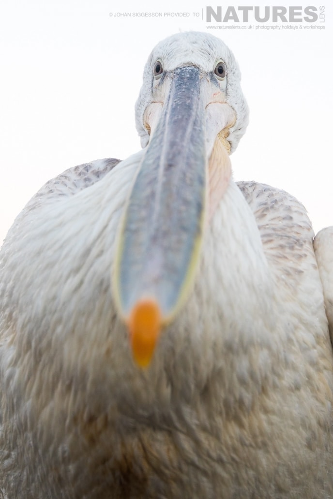 One of the young pelicans stares straight down the lens photographed on the NaturesLens Dalmatian Pelicans Photography Holiday