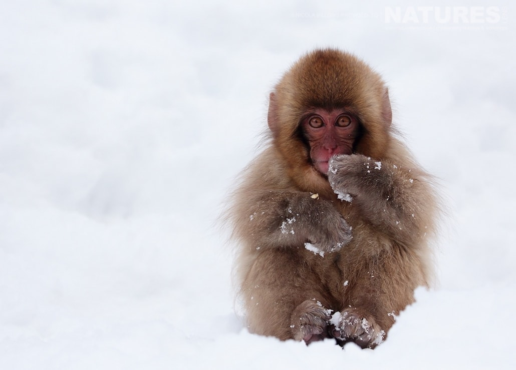 One of the young snow monkeys of Hells Valley on the main island of Japan photographed by Nicola Billows during the NaturesLens Japanese Winter Wildlife Photography Holiday