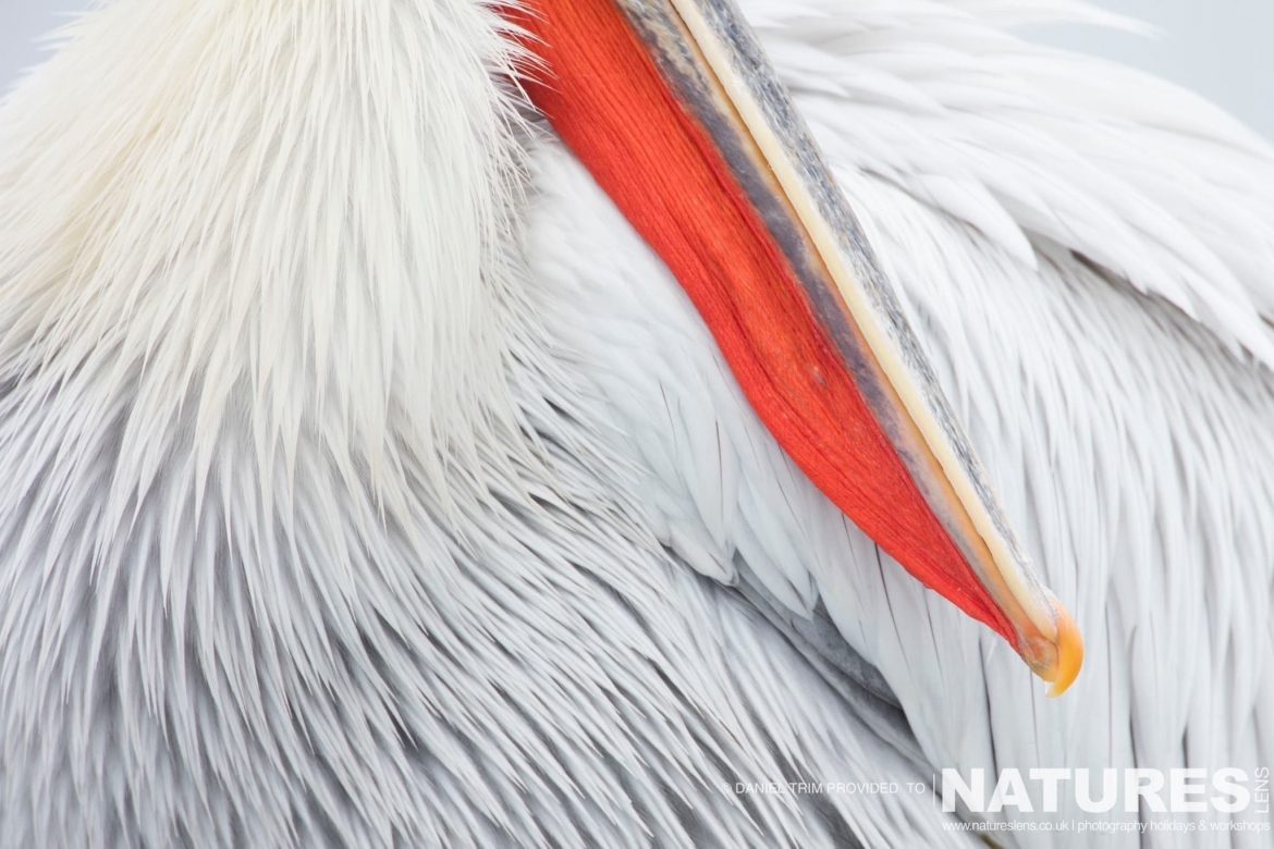 Pelican Beak photographed on the NaturesLens Dalmatian Pelicans Photography Holiday