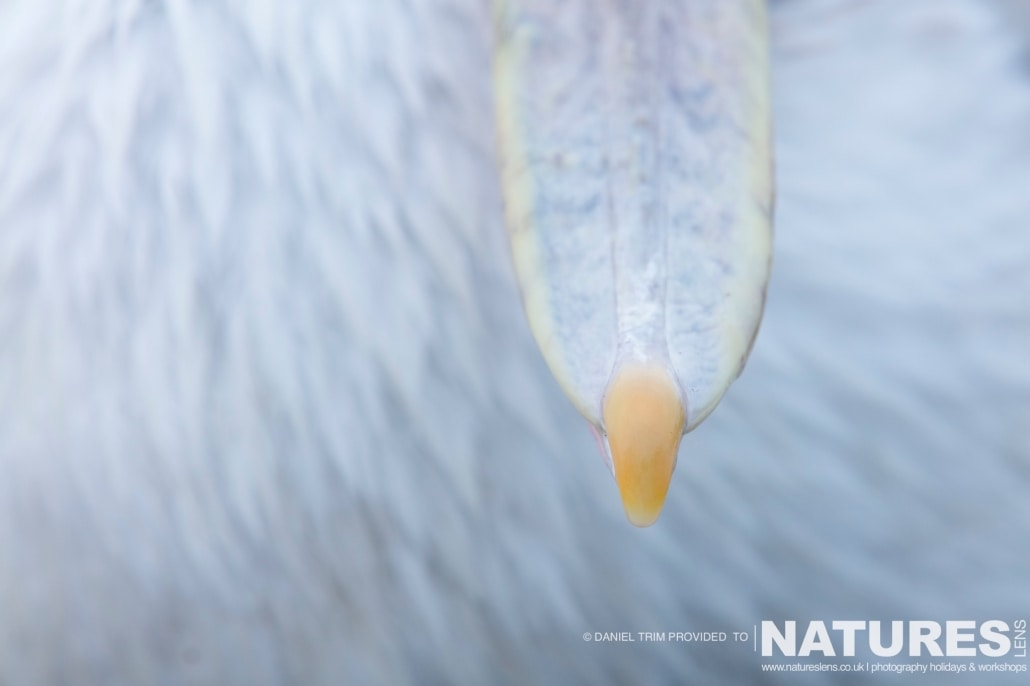 Pelican Feathers & Beak Tip photographed on the NaturesLens Dalmatian Pelicans Photography Holiday