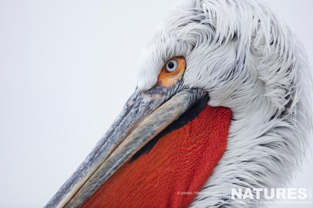 Pelican Portrait photographed on the NaturesLens Dalmatian Pelicans Photography Holiday