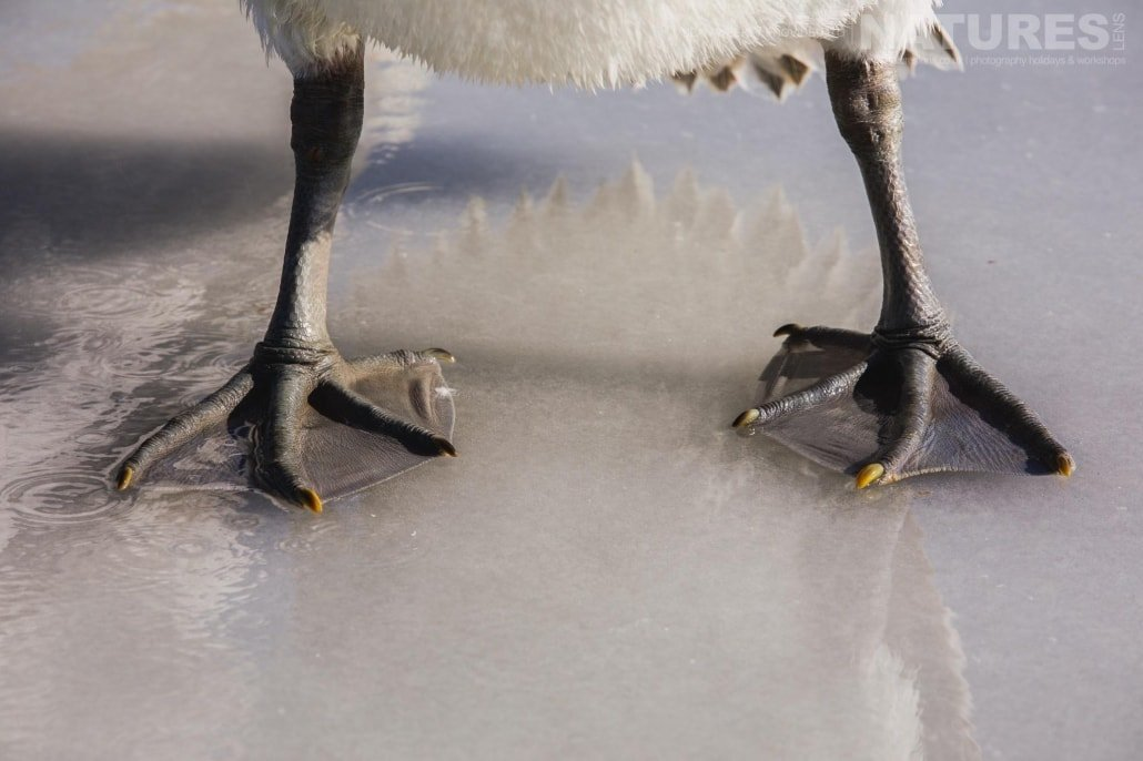 Pelican feet on the ice of a frozen Lake Kerkini photographed on the NaturesLens Dalmatian Pelicans Photography Holiday