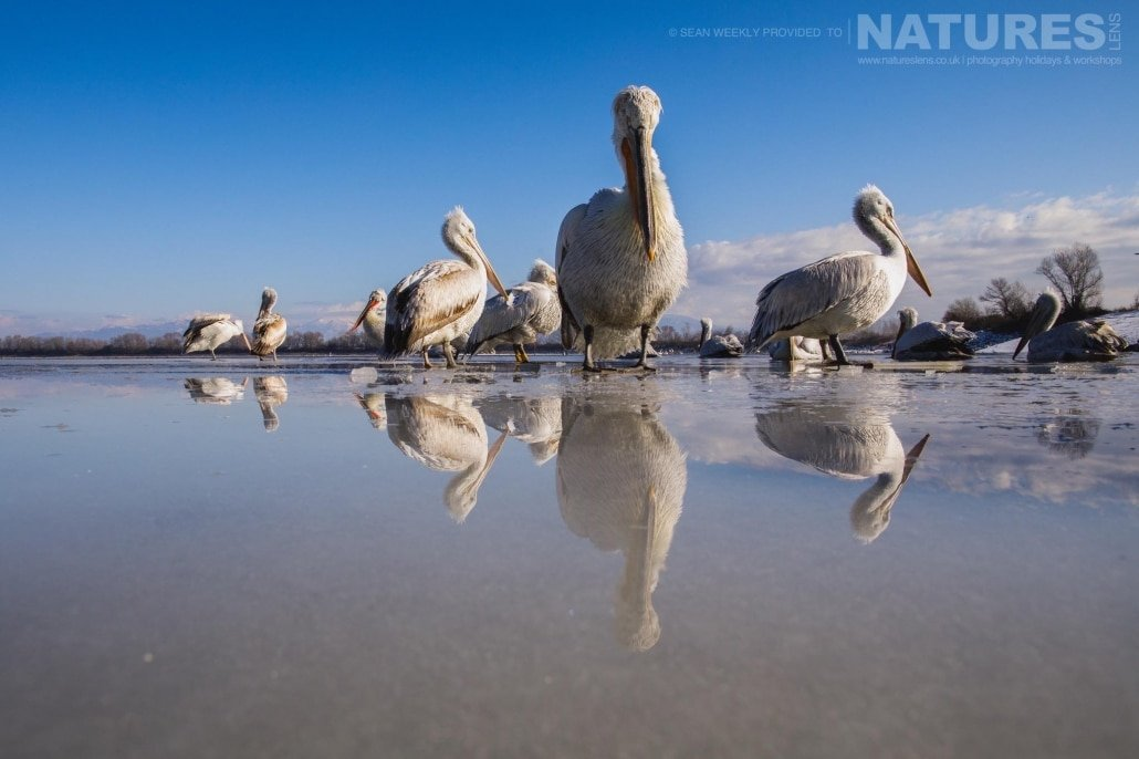 Reflected in the melted water sitting on top of the ice, some of the Dalmatian Pelicans of Lake Kerkini photographed on the NaturesLens Dalmatian Pelicans Photography Holiday