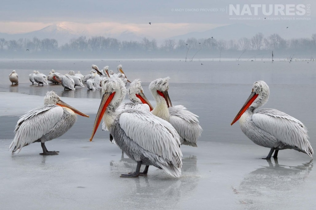 Several of the Dalmatian Pelicans stood on ice in front of the snowy mountain backdrop photographed on the NaturesLens Dalmatian Pelicans Photography Holiday