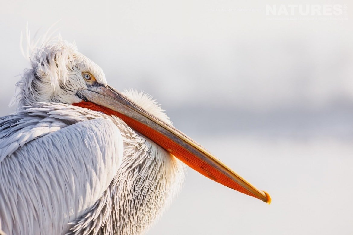 Sitting contentedly, one of the Dalmatian Pelicans of Lake Kerkini photographed on the NaturesLens Dalmatian Pelicans Photography Holiday