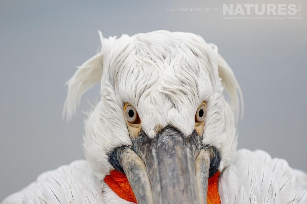 Staring at the photographer, locked stare of a pelican photographed on the NaturesLens Dalmatian Pelicans Photography Holiday
