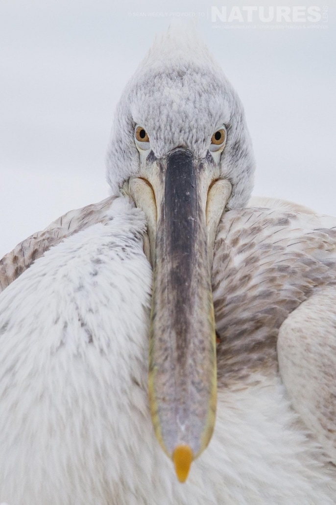 Straight down the barrel, one of the pelicans stares directly into the camera photographed on the NaturesLens Dalmatian Pelicans Photography Holiday