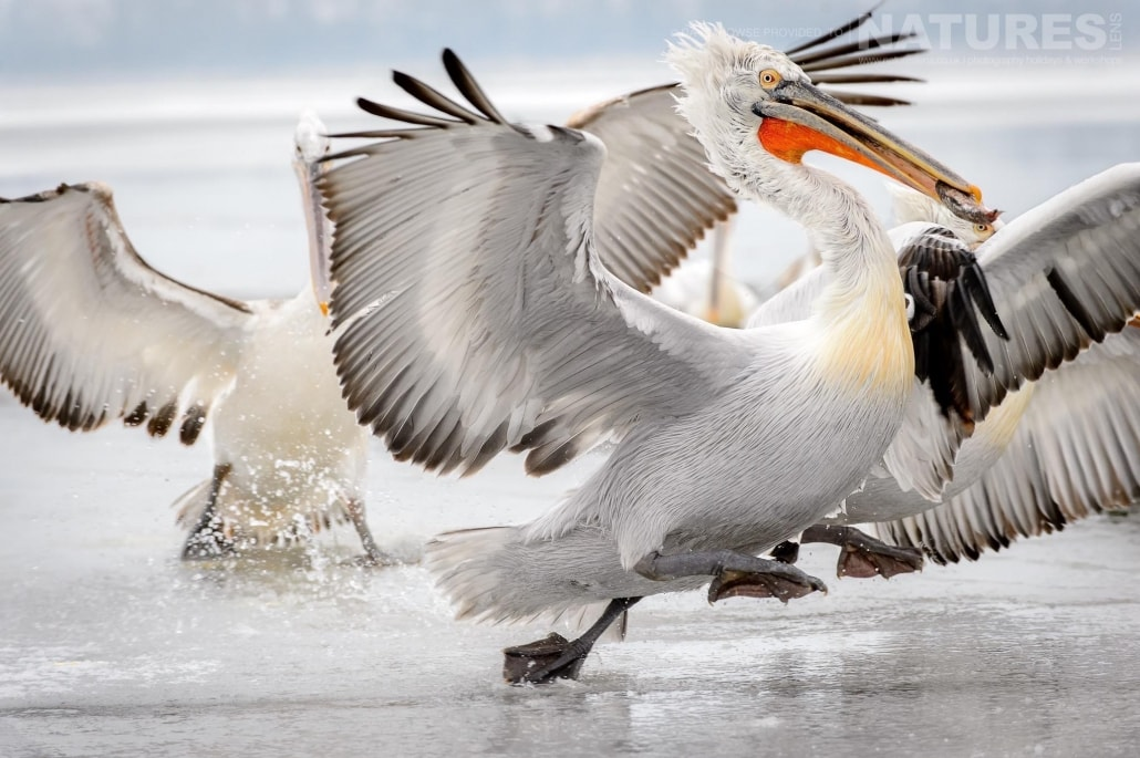 The flurry that ensues, when one of the Dalmatian Pelicans has caught a thrown fish photographed on the NaturesLens Dalmatian Pelicans Photography Holiday