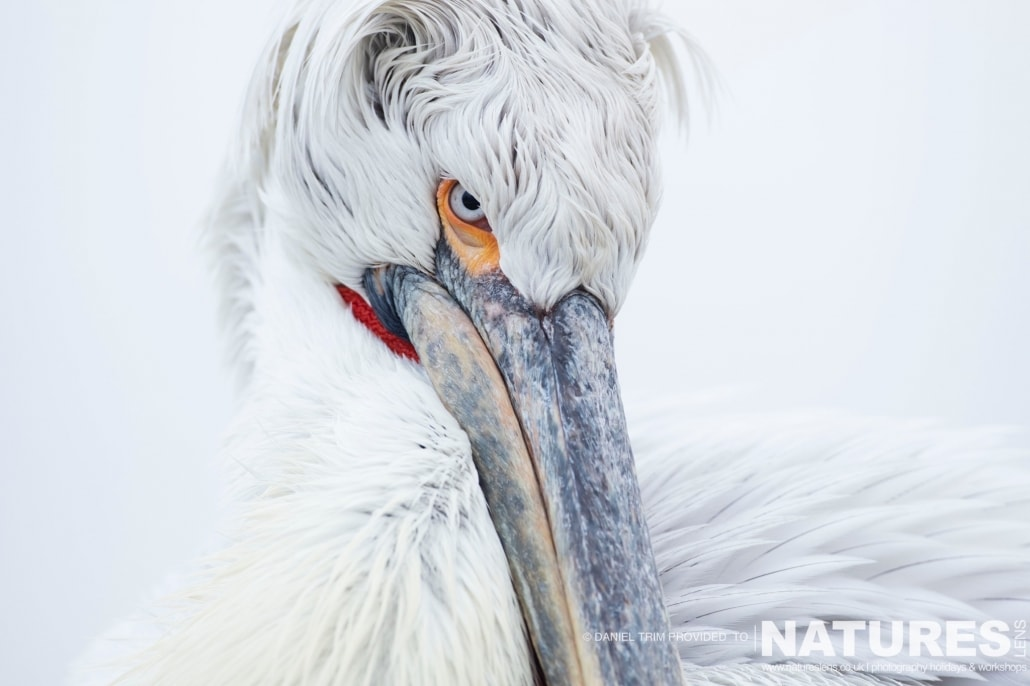 The stare of the Pelican photographed on the NaturesLens Dalmatian Pelicans Photography Holiday