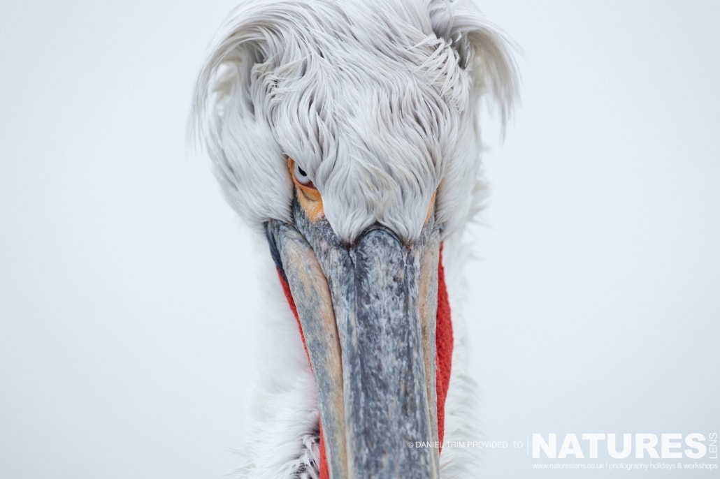 The staredown photographed on the NaturesLens Dalmatian Pelicans Photography Holiday