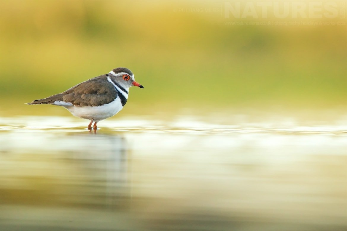 Three Banded Plover Photographed During The African Wildlife Of Zimanga Photography Holiday Run By NaturesLens
