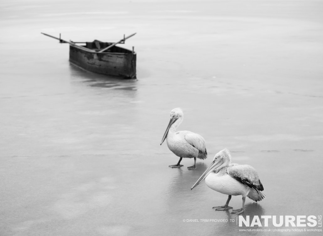 Two pelicans & one of the traditional fishing boats photographed on the NaturesLens Dalmatian Pelicans Photography Holiday