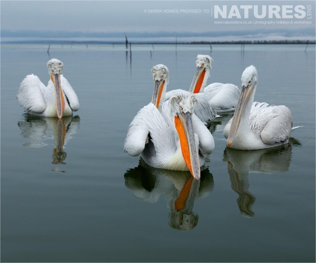 Waiting for the shoreline feed, the pelicans are as expectant of action as the photographers photographed during the NaturesLens Dalmatian Pelican Photography Holiday