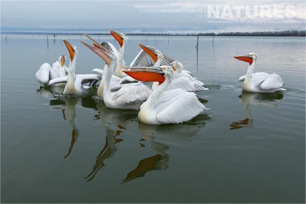 With the ice gone melting, the pelicans resumed their normal cycle of behaviour, wanting to be fed at the shoreline photographed during the NaturesLens Dalmatian Pelican Photography Holiday
