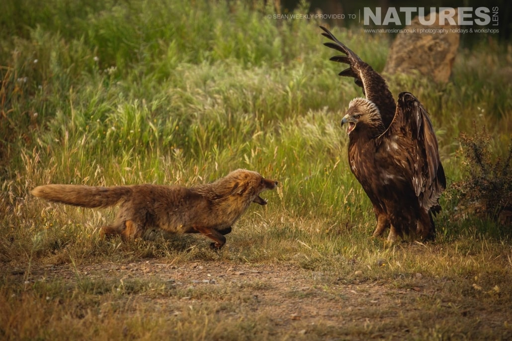 A Golden Eagle & Red Fox battling over food photographed during the NaturesLens Spanish Raptors Photography Holiday