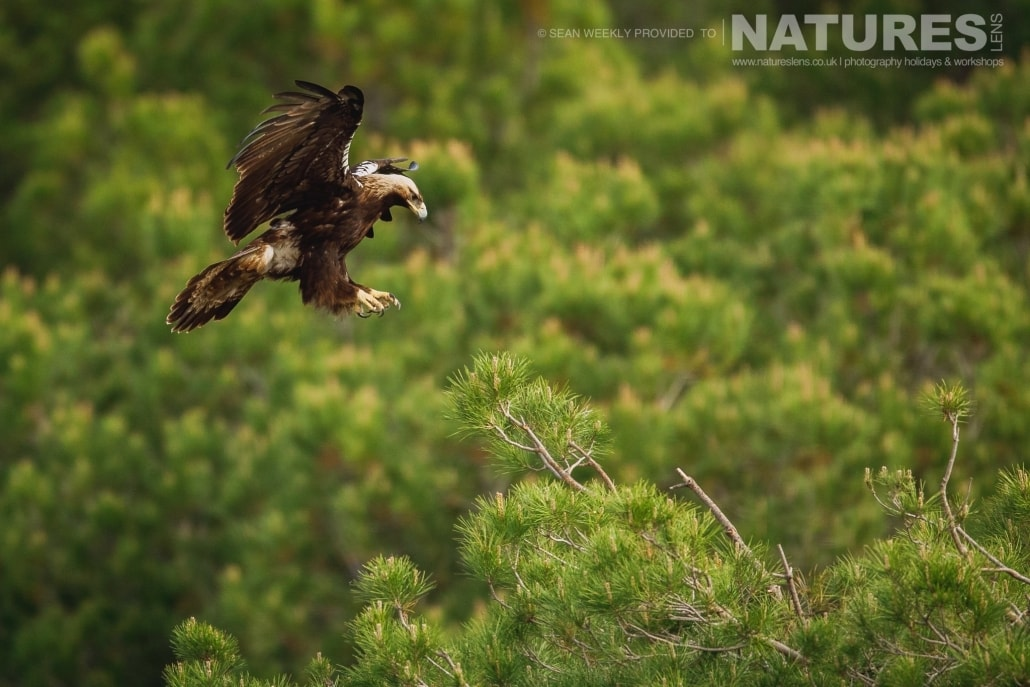 A Golden Eagle comes in to land photographed during the NaturesLens Spanish Raptors Photography Holiday