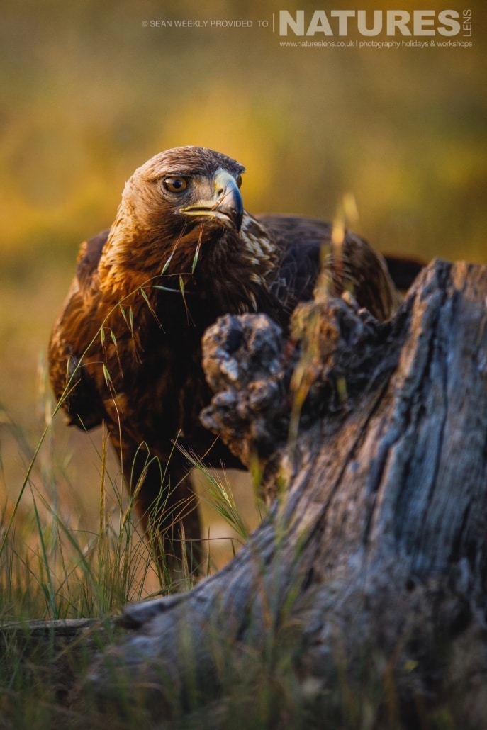 A Golden Eagle peers around a log photographed during the NaturesLens Spanish Raptors Photography Holiday