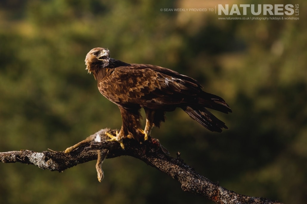 A Golden Eagle perched photographed during the NaturesLens Spanish Raptors Photography Holiday