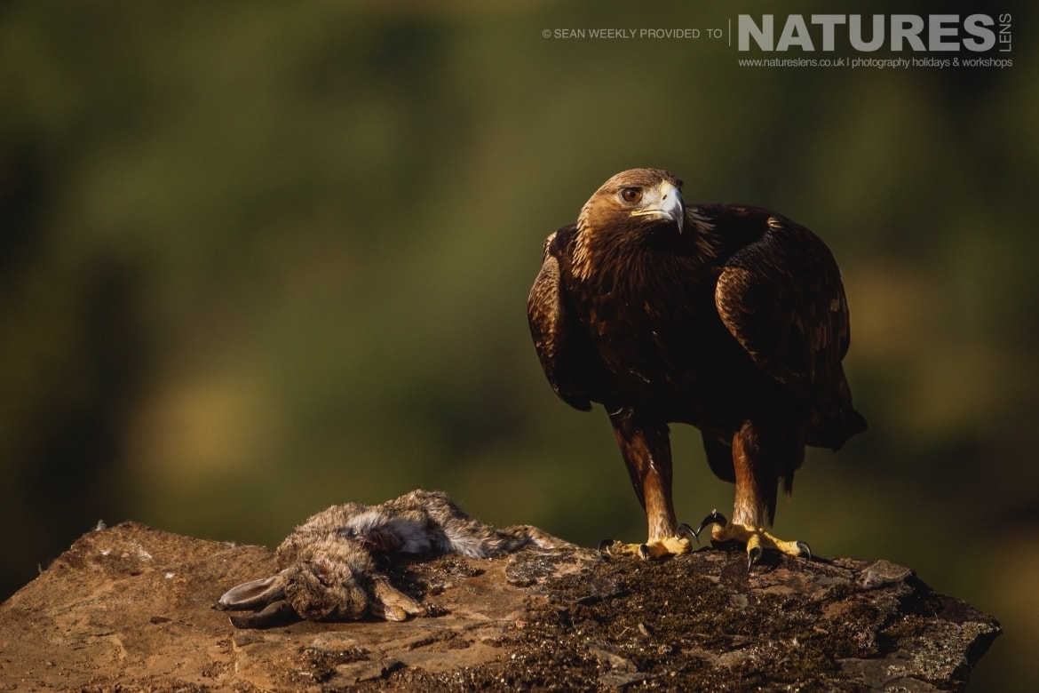 A Golden Eagle perches photographed during the NaturesLens Spanish Raptors Photography Holiday
