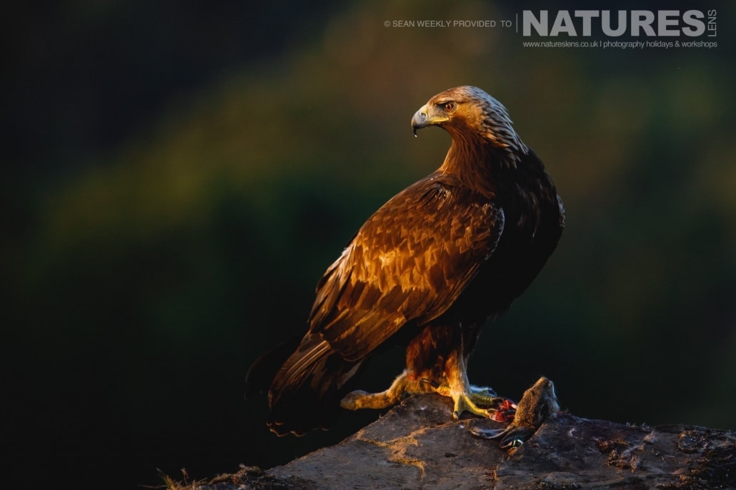 A Golden Eagle perches whilst bathed in the golden light of the setting sun photographed during the NaturesLens Spanish Raptors Photography Holiday