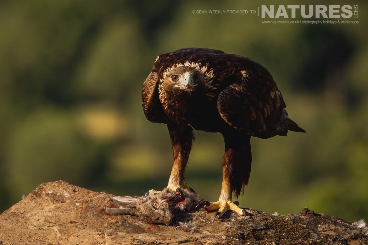 A Golden Eagle stares straight down the lens at the photographer photographed during the NaturesLens Spanish Raptors Photography Holiday