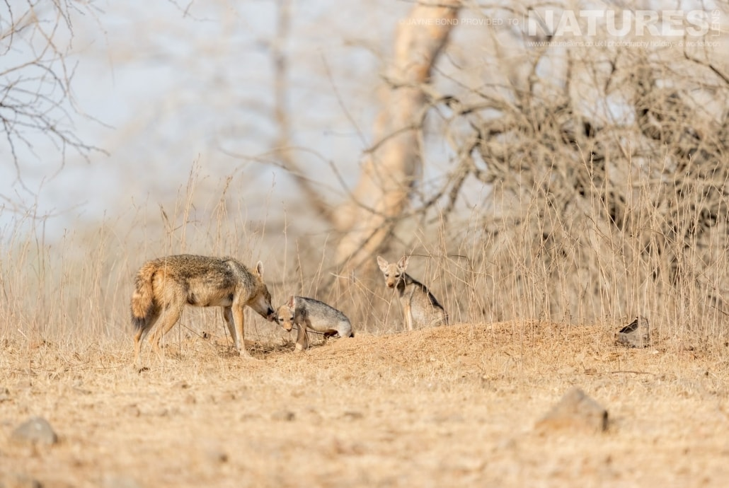 A Jackal family photographed within the Asiatic Lion reserve captured during the NaturesLens Asiatic Lions of Gir Photography Holiday