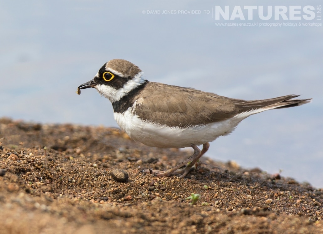 A Little Ringed Plover with food photographed on one of the pair of NaturesLens Wildlife Photography Holidays to capture images of the Birds of Spain