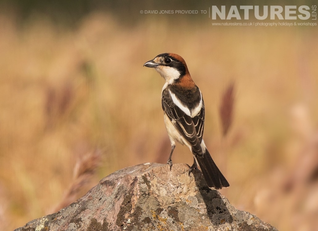 A Woodchat Shrike photographed on one of the pair of NaturesLens Wildlife Photography Holidays to capture images of the Birds of Spain