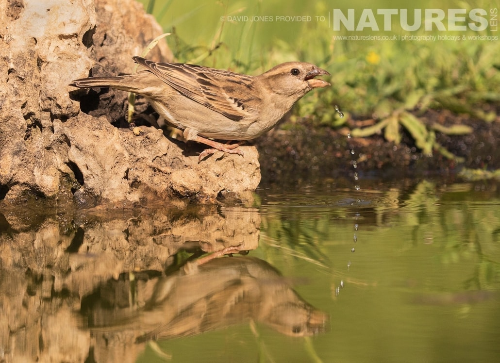 A female House Sparrow drinking photographed on one of the pair of NaturesLens Wildlife Photography Holidays to capture images of the Birds of Spain