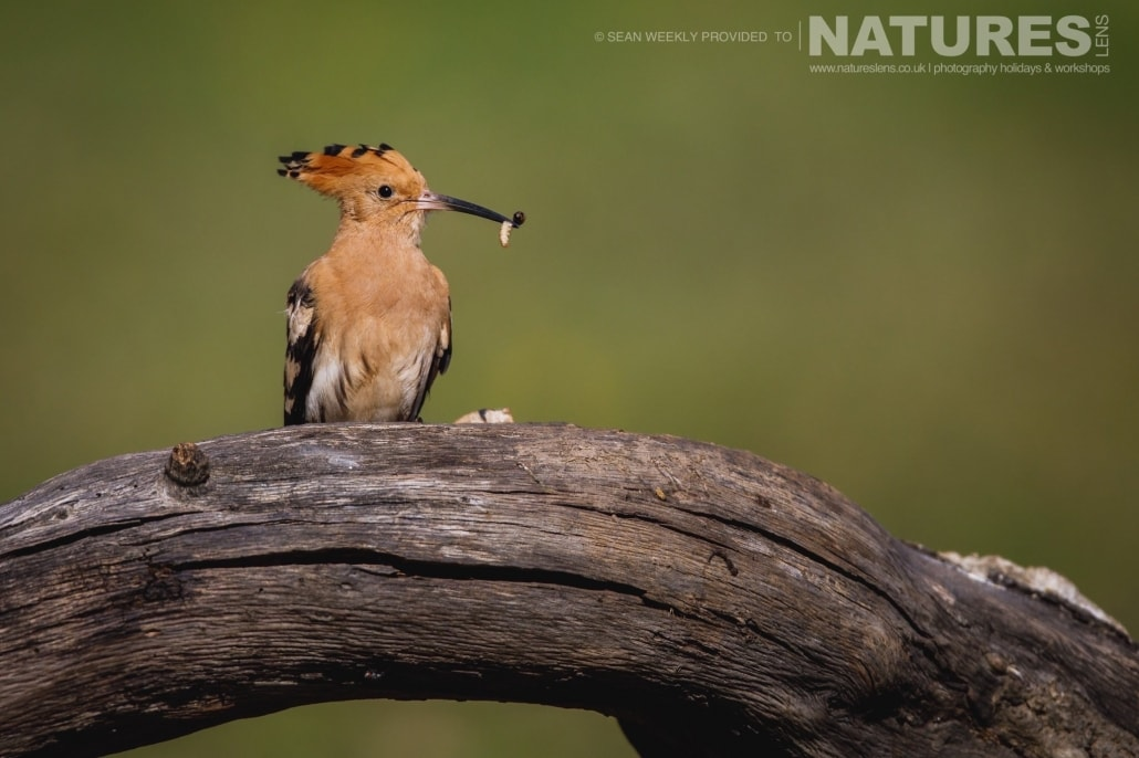 A hoopoe perches with a recently caught grub photographed during the NaturesLens Spanish Raptors Photography Holiday