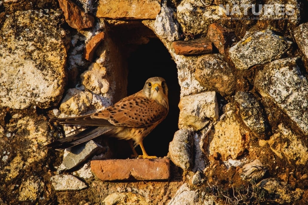 A kestrel flies back to it's nest within a derelict Spanish farm building photographed during the NaturesLens Spanish Raptors Photography Holiday