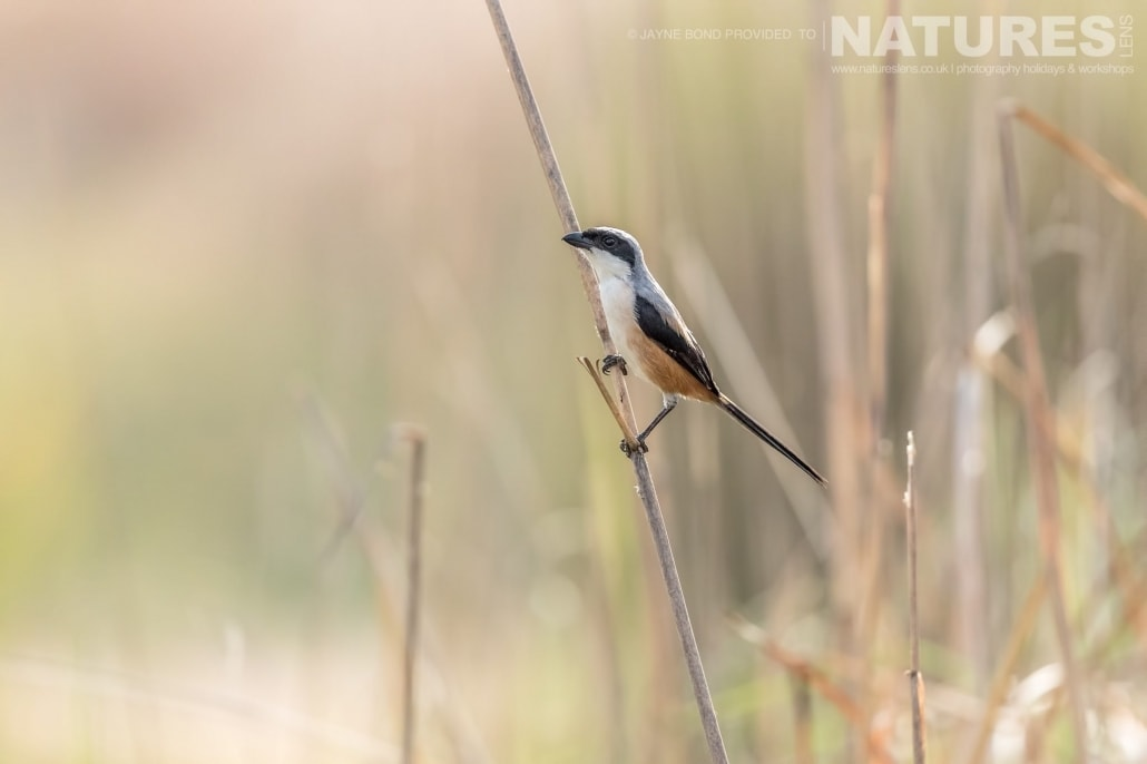A long tail shrike photographed in one of Bandhavgarh;s meadows captured during the NaturesLens Bengal Tigers of Bandhavgarh Photography Holiday