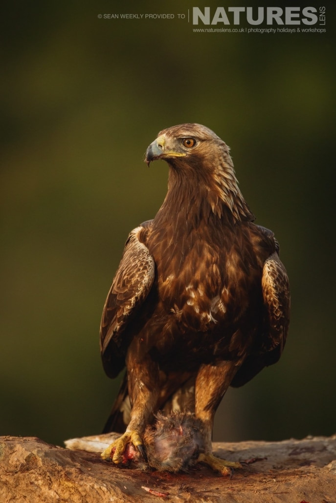 A magnificent Golden Eagle photographed during the NaturesLens Spanish Raptors Photography Holiday