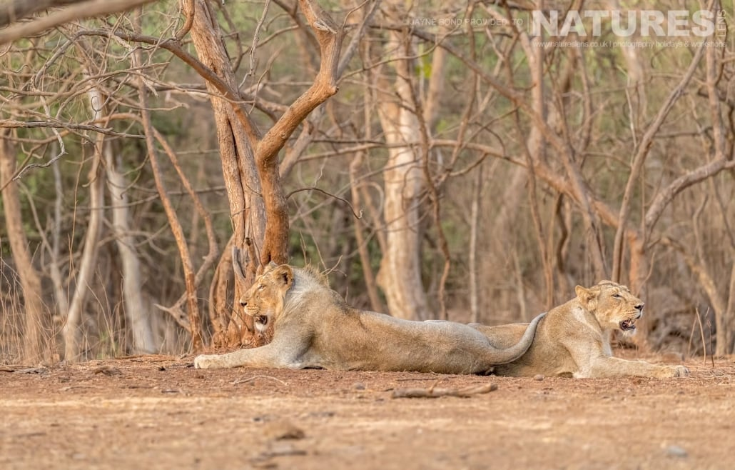 A pair of Gir's magnificent Asiatic Lions relax by the forest edge captured during the NaturesLens Asiatic Lions of Gir Photography Holiday