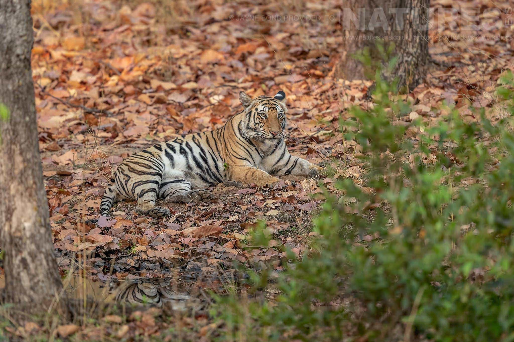 A Tiger Rests Amongst The Fallen Leaves   Photographed During The NaturesLens Tigers Of Bandhavgarh Photography Holiday
